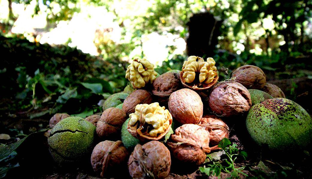 شروع برداشت گردو در باغ های شهرستان سقز