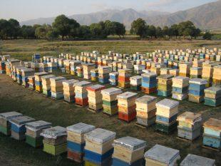 سقز رتبه اول تولید عسل در کوردستان دارد/ لزوم برندسازی عسل طبیعی سقز